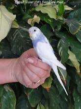 Hand Raised Baby Budgies - 3 Left - Ready To Go Now Capital Hill South Canberra Preview