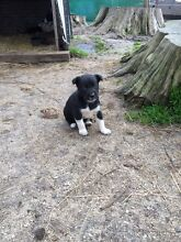 Border Collie Kelpie X Puppies Lavers Hill Colac-Otway Area Preview