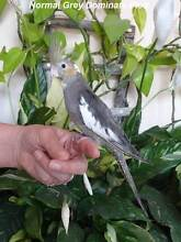 Hand Reared Baby Cockatiels - 3 Available - Ready To Go Now City North Canberra Preview