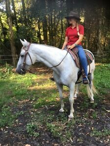 12yr old  stockhorse grey gelding for sale Tuncurry Great Lakes Area Preview