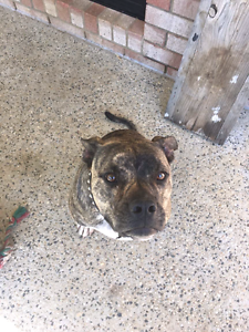 Staffy cross needs a good home Capalaba West Brisbane South East Preview