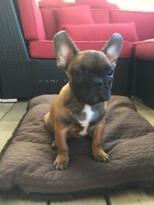 Quality Male French Bulldog Puppy-SOLD