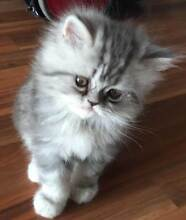 PURE-BRED PERSIAN KITTENS LOOKING FOR NEW HOMES Warragul Baw Baw Area Preview