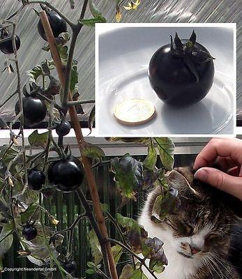 schwarze Tomate Obstpflanze Gemüsepflanze mediterran blühend schnellwüchsig Obst