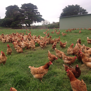 Free range laying hens Doreen Nillumbik Area Preview
