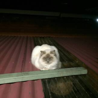 pure breed male ragdoll Yagoona Bankstown Area Preview
