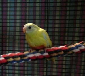 Turq Grass Parakeet( AVAILABLE )