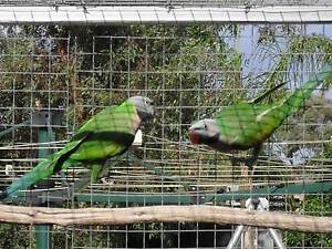 Pair of moustache parrots for sale Balaklava Wakefield Area Preview