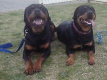 Rottweiler Puppies To Forever Homes Armadale Armadale Area Preview