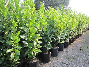Pianta piante di alloro lauro nobile siepe ornamento for Pianta di alloro