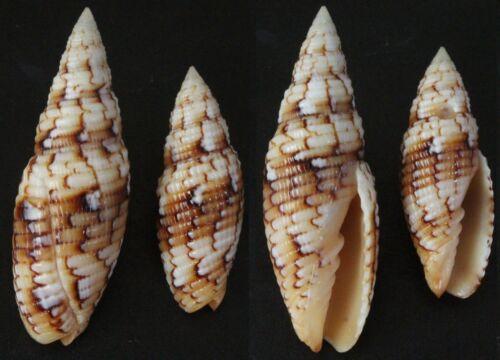 Seashells Scabricola variegata SET OF 2 PCS 36 & 48mm F++/F+++ marine specimen