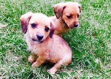 ONLY 3 LEFT!!! DACHSHUND X MALTESE* Moorooka Brisbane South West Preview