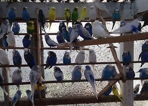 budgies for sale Emerald Cardinia Area Preview