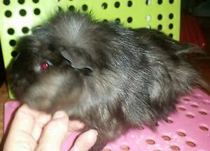 Baby Guinea Pigs Dover Heights Eastern Suburbs Preview