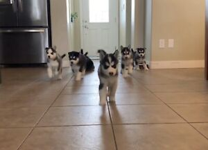 ONLY TWO BOYS LEFT!Purebred husky puppies for sale!