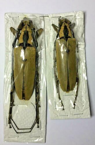 Cerambycidae: Massicus pascoei  Pair - Malaysia