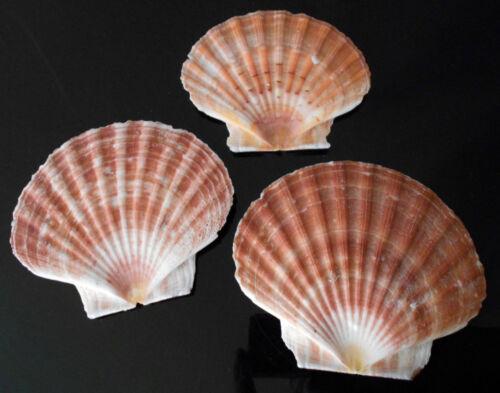 """3 Large Irish Flat Scallops Shells Seashells 4""""+ Crafts Beach Cottage Nautical"""
