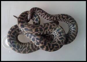 Spotted Python Hatchlings $50 Anstead Brisbane North West Preview