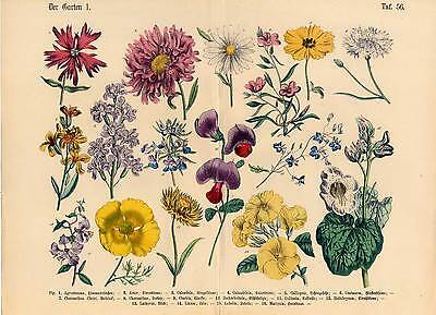 Schöne Blumen-Garten-Pflanzen - große Lithographie 1869 Altkoloriert