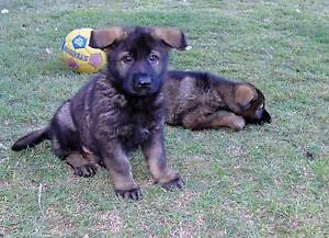 Purebred Champion German Shepherd Dogs Holland Park West Brisbane South West Preview