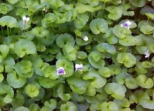Native Violet ground cover
