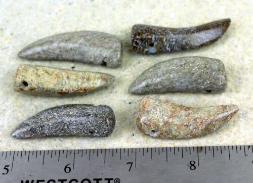 Real Dinosaur Bone Carved into a Dinosaur Tooth Replica