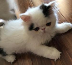 Purebred Persian Kittens  (QFA 1251)
