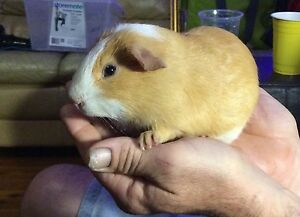 Baby Boy cream and brown 5 weeks Guinea pig Caboolture South Caboolture Area Preview
