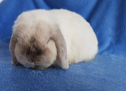Mini Lop Blue Point Male--Stud Reduction