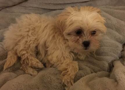 Maltese Shih Tzu puppy for sale Mittagong Bowral Area Preview