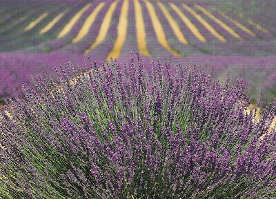Ansichtskarte: blühender Lavendel auf einem Feld, Provence, Frankreich