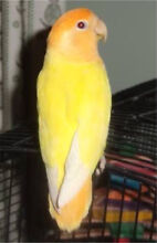 Hand Raised Lovebirds For Sale Canning Vale Canning Area Preview
