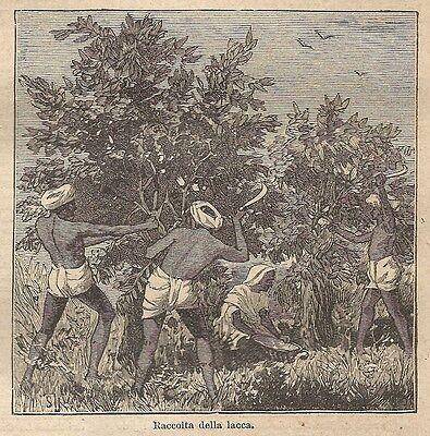 A0428 Raccolta della lacca - Stampa Antica del 1907 - Xilografia