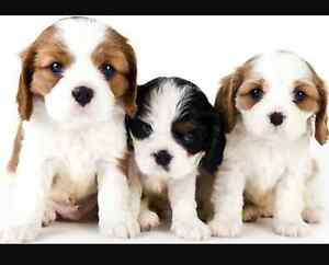 Looking for a puppy. Greenway Tuggeranong Preview