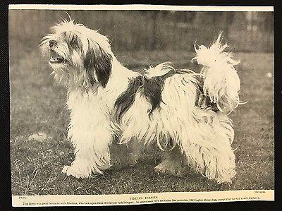 1934 Dog Print / Bookplate - TIBETAN TERRIER, Luck Bringer