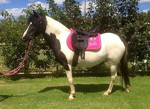 Stunning black & white pinto pony, 11.2hh. Next pony club mount Swan Hill Swan Hill Area Preview