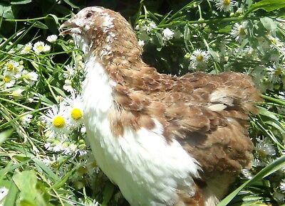 50 Scarletrange Coturnix Quail Hatching Eggs By Myshire Includes Tuxedo