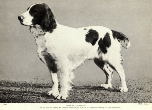 1930s Antique SPRINGER SPANIEL Dog Print Champion Lass of Tolworth Photo 3280-H