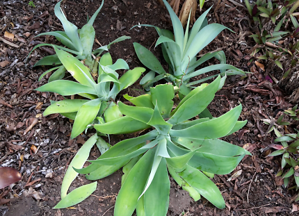 Agaves - medium to small