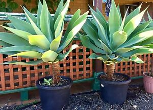 Agave plants - two(2) of  XXX-large (in 450mm pots) Liverpool Liverpool Area Preview