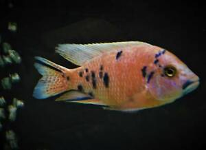 ½ Price Sale Dragon Blood OBs Display Males African Cichlids