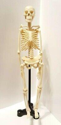 Model Anatomy Professional Medical Skeleton Miniature 42cm17in.