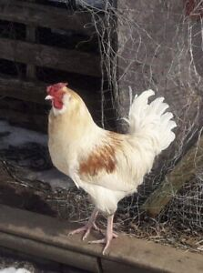 Handsome Young Rooster