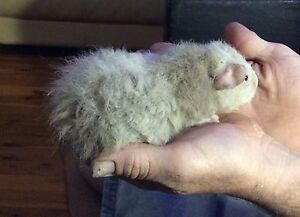 Baby Boy Guinea pig Caboolture South Caboolture Area Preview