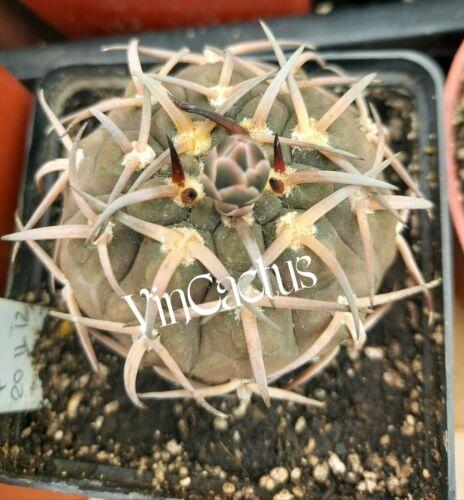 Gymnocalycium riojense v. paucispinum     10 SEEDS RARE cactus cacti cactus seed