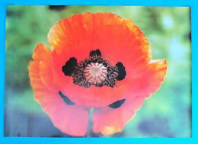 DDR Plakat Poster 1344 | Klatschmohn 1987 Papaver rhoeas | 81 x 58 cm Original