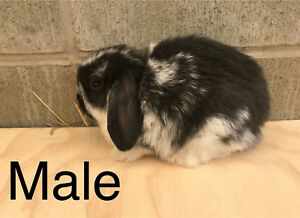 PERBREED HOLAND LOPS FOR SALE