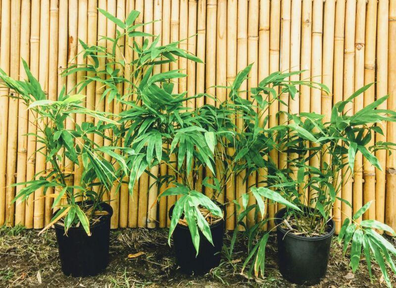 Chinese Dwarf Bamboo Non Invasive
