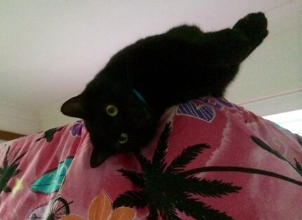 Beautiful cat in need of loving home!  Golden Beach Caloundra Area Preview