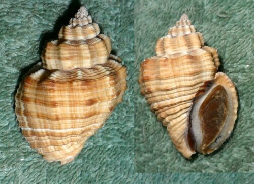 SS RFM 72041 Cantharus melanostoma Sowerby 1825 44.6mm F+ with operculum India,